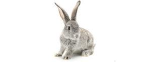 Dyrlæge Charlottenlund - kanin